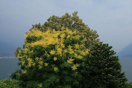 Koelreuteria paniculata PB40 (150/200)