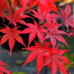 Acer palmatum 'Osakazuki' (Japanese Maple) PB60 (160/180)