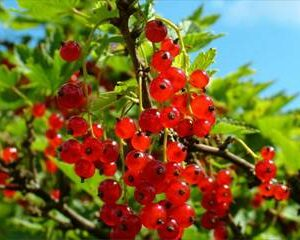 Red Currant Red - Pb5/6.5