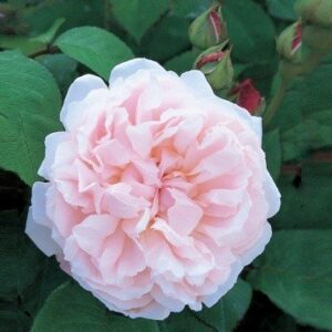 Austin English 'Redoute' Bush Rose