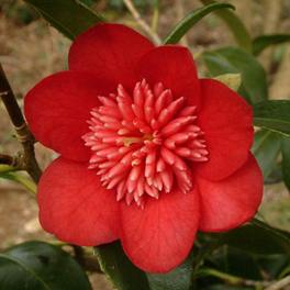 Camellia japonica Bobs Tinsie - PB6.5 (70/85)
