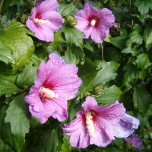 Hibiscus syriacus (Mixed Colours) - PB6.5