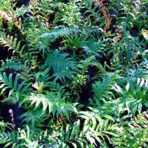 Fern-Blechnum Novae Zelandiae - PB5 (20/25)