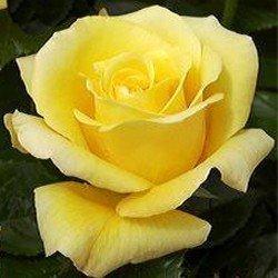 Bush Rose - Hybrid Tea 'Glorius' / 'Glorious'
