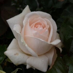Bush Rose - Hybrid Tea 'Love me Do'