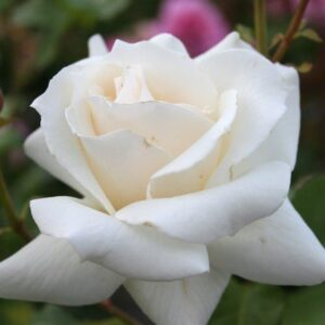 Bush Rose - Hybrid Tea 'Pascali'