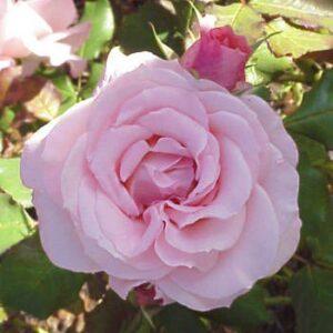 Bush Rose - Floribunda 'Bridal Pink'