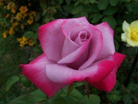 Bush Rose - Hybrid Tea 'Paradise'