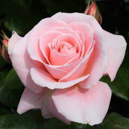 Bush Rose - Floribunda 'Dear One'