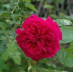 Austin English 'Wenlock' Bush Rose