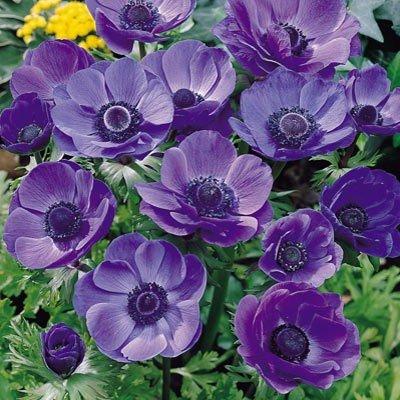 Anemone De Caen (Single Flowering) - Blue Poppy