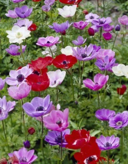 Anemone De Caen (Single Flowering) - Mixed