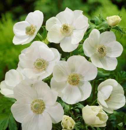 Anemone De Caen (Single Flowering) - The Bride