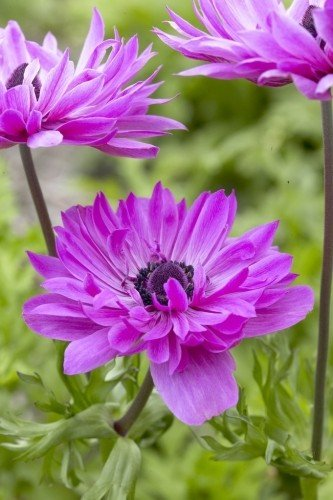 Anemone St Brigid (Double Flowering) - The Admiral