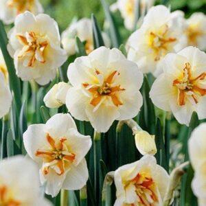 Daffodils Split Corona - Broadway Star