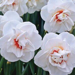 Daffodils Double - Acropolis