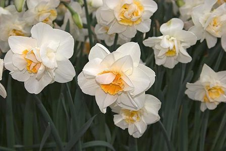 Daffodils Double - Madison