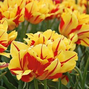 Tulips, Peony - Monsella