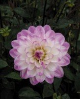 Dahlias, Water Lily - Erin Anne