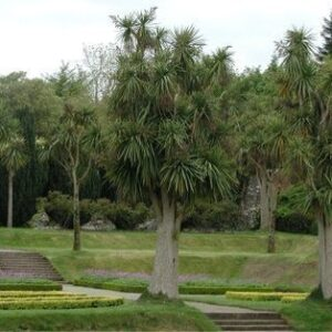 Cordyline australis (Cabbage Tree)- PB5/PB6.5 (50/60)