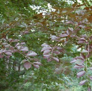 Fagus sylvatica purpurea  - PB18 (120/140)