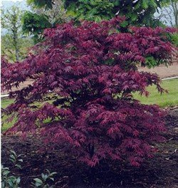 Acer palmatum Atropurpureum - PB6.5 (140/160)