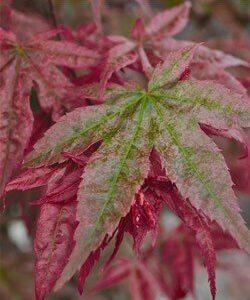 Acer palmatum 'Shindeshojo'  - PB28 (150/170)