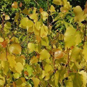 Populus Manawatu Gold - PB6.5 (100/150)