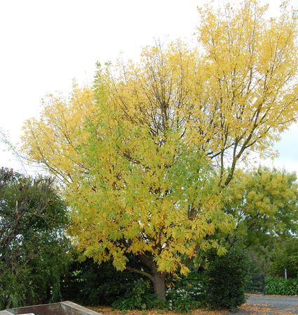 Fraxinus velutina Golden Glow PB18 (180/220)