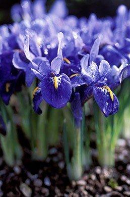 Iris reticulata  - Gordon