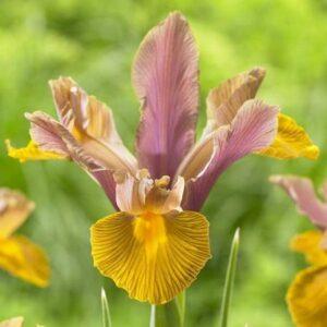 Dutch Irises Bronze Shades - Lion King