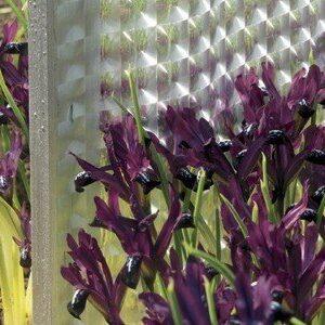 Iris reticulata - Pauline