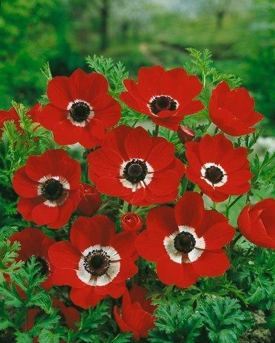 Anemone De Caen (Single Flowering) - Hollandia