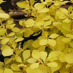 Berberis thunbergii Aurea - 1.5Ltr (30/40)