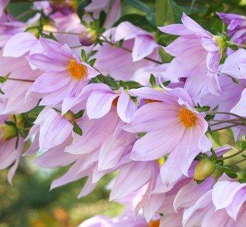 Dahlia imperialis - PB12/18 (60/120)