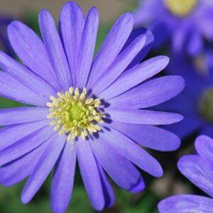 Anemone Blanda - Blue Sky