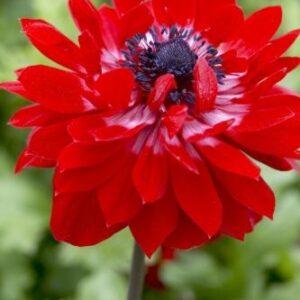 Anemone St Brigid (Double Flowering) - The Governor