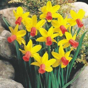 Daffodils Miniature - Jetfire