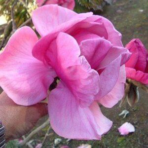 Magnolia Felix Jury - 15L Pot (180/200)