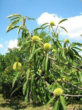 Chestnut 1005 - PB28