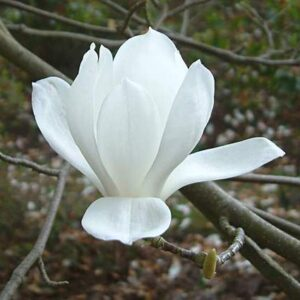 Magnolia Denudata - PB18/28 (160/180)