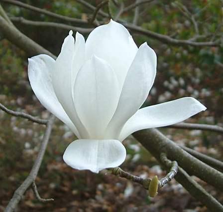 Magnolia Denudata - PB60