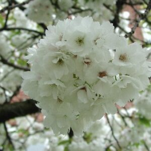Prunus 'Shirotae'  - PB18 (160/180)