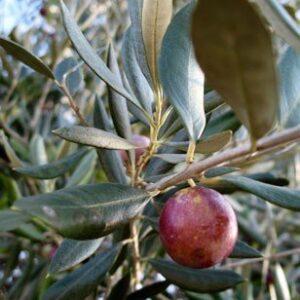 Olea europaea Ascolano - 2.5Ltr (90/120)