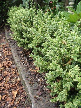 Buxus sempervirens 'Variegata' - PB6.5 (30/40)