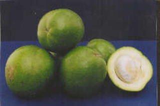 Casimiroa 'Suebelle'