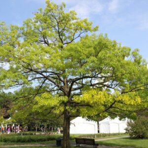 Quercus Coccinea - PB60