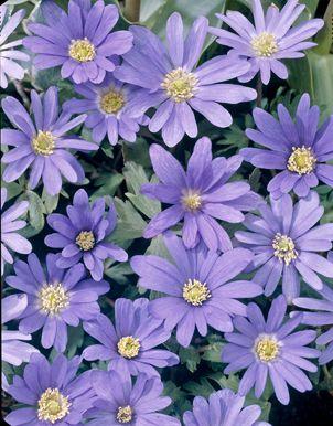 Anemone Blanda - Blue Meadow