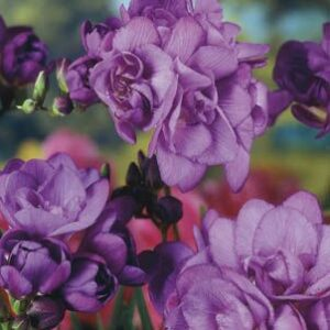 Freesias Doubles - Blue Navy