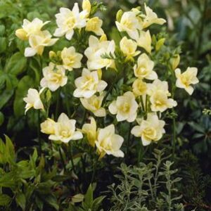 Freesias Doubles - Graceful